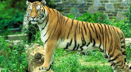 tigrejpg