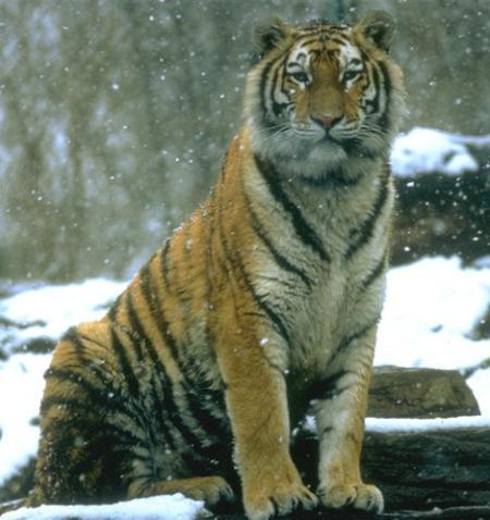 tigrejpg 2