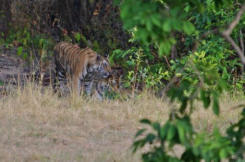 india-tigres.jpg